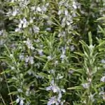 Rosemary Protects DNA; Boosts Memory and General Health